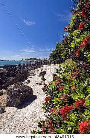 Pohutukawa tree, Mount Maunganui Beach, New Zealand