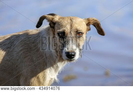Mongrel Dog From An African Village Looks With  Scrutinizing Gaze. An Aboriginal Dog From A Zimbabwe