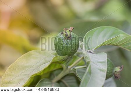 Close-up Of Organic Healthy Hybrid Thai Guava Harvest With Fresh Large Large Guava Fruits