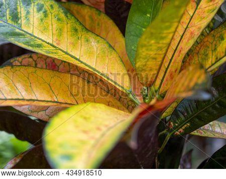 Close-up Of The Leaves Of The Codiaeum Variegatum Gold Plant