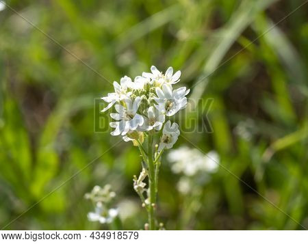 Close-up Of A White Hoary Alyssum Flower On A Clear Day. Blurred Background, Selective Focus