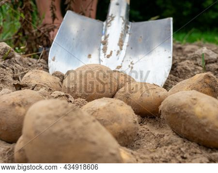 Close-up Of Digging Potatoes With A Shovel In The Field. The Concept Of Harvesting. Side View, Selec