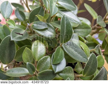 Close-up Of Green House Flower Leaves, Selective Focus