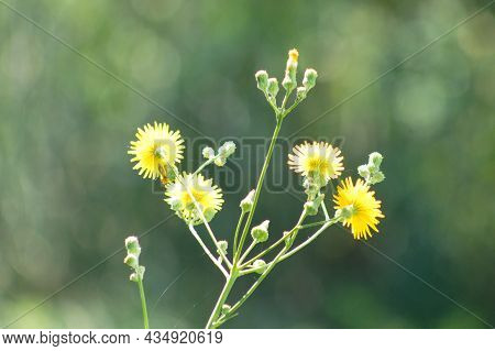 Perennial Sowthistle In Bloom Close-up View With Blurry Background