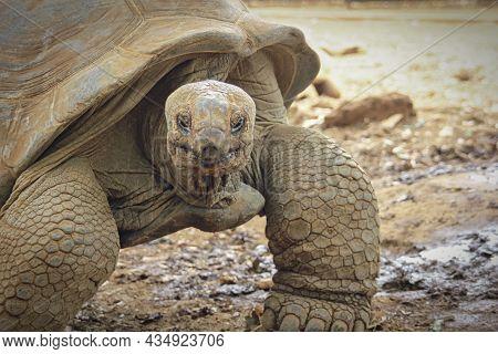 Giant Turtle, Aldabrachelys Gigantea, In Tropical Natural Park Sanctuary, South Africa. Aldabra Gian