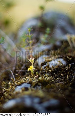 Sunlit Tiny Plant With Yellow Flower On A Rock With Moss | Close Up Ground Level Photo Of A Small Pl