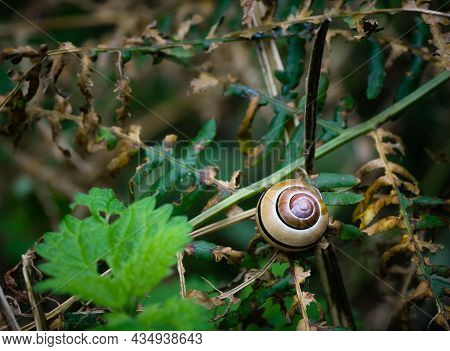 A Grove Snail In It's Shell On A Leaf Amongst Fern Foliage In The Woods