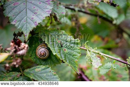 A Grove Snail In It's Shell Sheltering Under A Leaf In Woodland Foliage