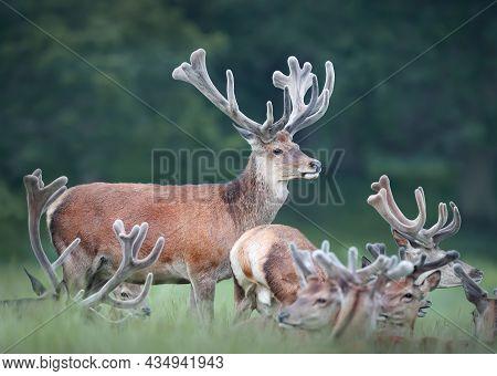 Group Of Red Deer Stags With Velvet Antlers In Summer, United Kingdom.