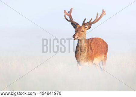 Portrait Of A Red Deer Stag With Velvet Antlers On A Misty Summer Morning, United Kingdom.