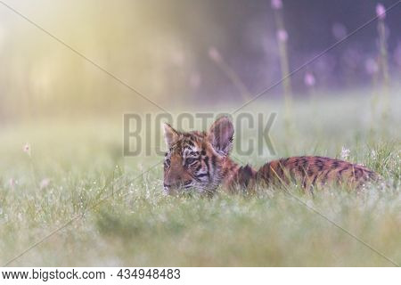 Cute Bengal Tiger Cub Is Lying In The Morning  Meadow. Horizontally.