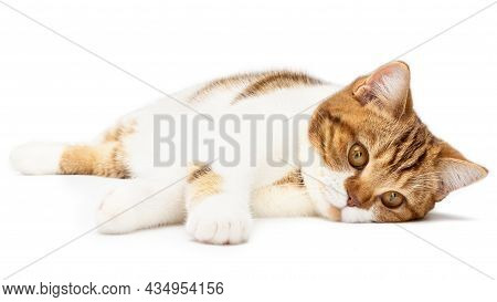 Sad Cat Lying Isolated On White. Beautiful Cat Lie Down Looking In Camera. British Shorthair Closeup