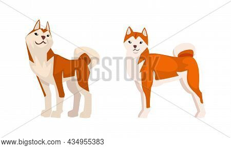 Shiba Inu As Japanese Breed Of Hunting Dog With Prick Ears And Curled Tail In Standing Pose Vector S
