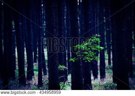 Lonely Young Oak Tree Grow Lost In Pine Forrest, Green Tree With Many Tree Trunks In Background