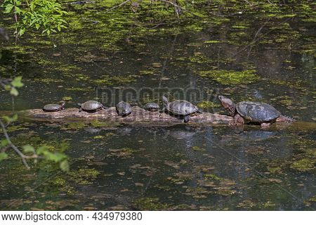 Terrapin Tummy Time In Spring In Cuyahoga Valley National Park In Ohio