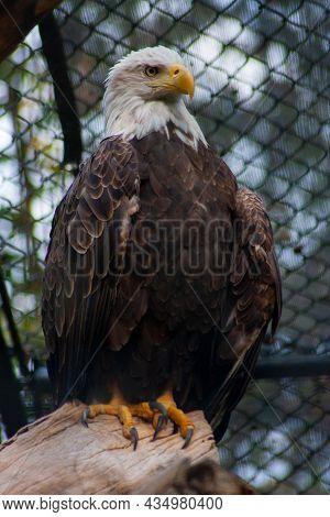 A Captive American Bald Eagle Perched On A Log - Haliaeetus Leucocephalus