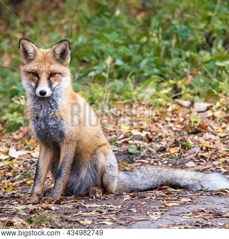 Red Fox, Vulpes Vulpes, Sits On Autumn Forest Path. Close Up Of A Red Fox Vulpes Vulpes, Sitting On