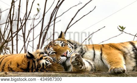 Pair of Siberian or Amur tigers resting . This endangered species of tiger is indigenous to far eastern Russia. These are young adult males.