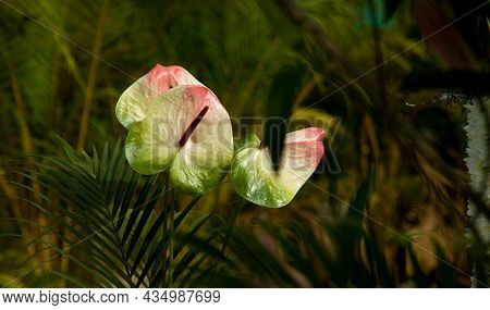 Two Multicolour Flowers Of Painters Palette Or Anthurium At Republic Day Flower Show, Lalbagh, Benga