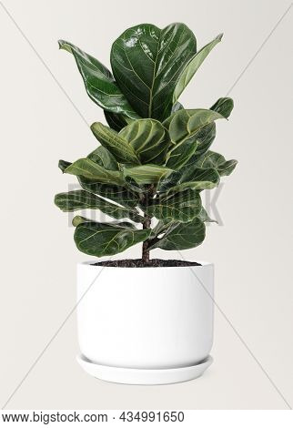 Fiddle leaf fig in a ceramic pot air-purifying plant