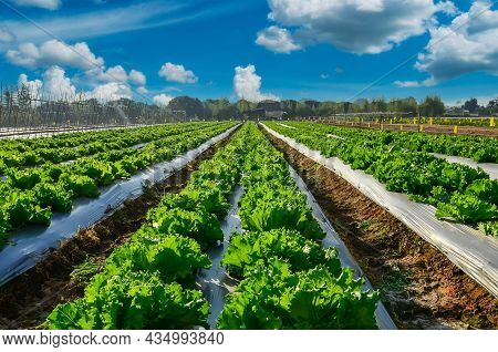 Agricultural Industry. Growing Salad Lettuce On Field With Blue Sky