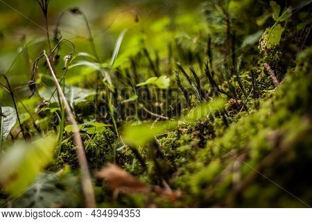 Moss Plants On The Forest Floor Close Up | Macro Photo Of Beautiful Small Lushgreen Plants In The Mo