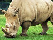 African animals: Rhinoceros eating grass. Safari park Ontario Canada poster
