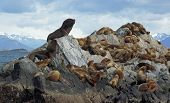 Sea lions colony within the Beagle Channel, Ushuaia, Argentina poster