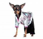 Russian toy terrier in fashionable overalls on a white background poster