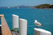 Seagull at pier post Waiheke Island New Zealand poster