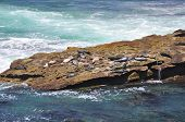 A group of seals sun themselves on a rocky ledge near San Diego, California. poster