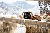 Black ram of sheep skudde waiting for hay. Winter on the farm. poster