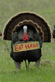 "humorous photo of a wild turkey carrying an ""eat ham"" sign poster"