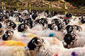 Herd of Swaledale sheep a common domestic farm animal all stock marked for identification before going to market or auction poster