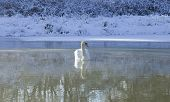 A white swan is swimming in a clear lake in winter time on a cold sunny day poster