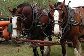 A pair of Clydesdales in harness, with old tractor in background poster