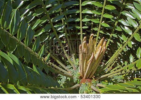 Abstract Close Up Of New Circle Of Leaves On A Cycad Pland
