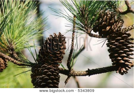 Pinecones In The Air