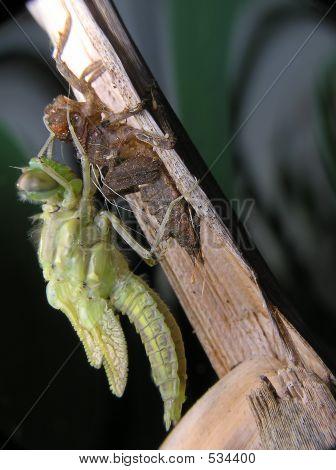 Births Of Dragon-fly