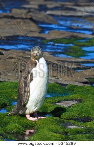 Yellow-eyed Penguin Posing
