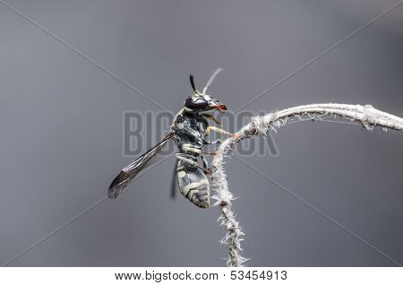Wasp In The Nature