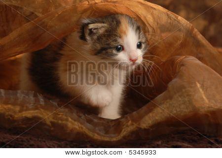Three Week Old Kitten Playing