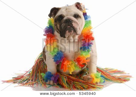 Bulldog Hula Dancer
