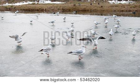 Gaggle of gulls