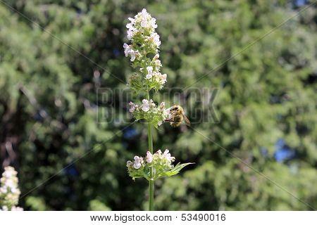 Bee Pollinating Catnip Flowers