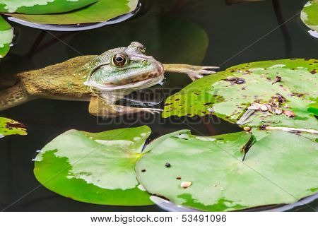 Common Toad Swimming In Nature Environment, Closeup