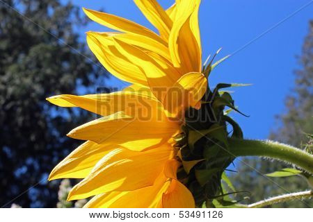Profile of a sunflower