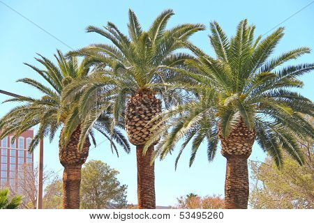 Palm Trees On The Streets Of Las Vegas. Nevada