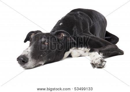 Hort Greyhound