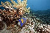 ocean coral and arabian angelfish taken in the red sea. poster
